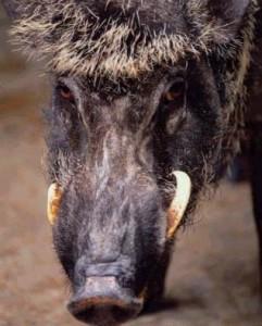 heraldic-wild-boar