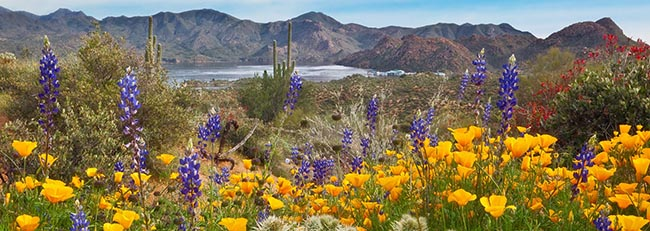desert-arizona-cactus-yellow-flowers-poppies-lupine-fresh-new-hd