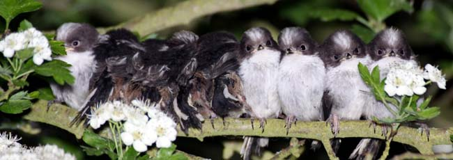 Long-tailed Tits
