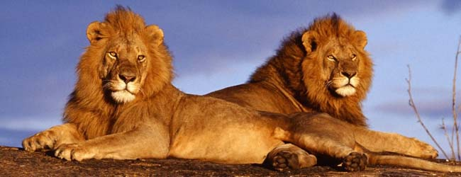 two_lions