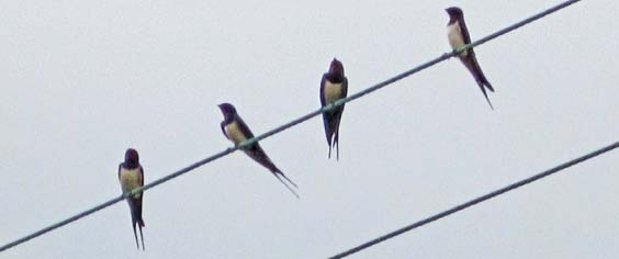 swallows_on_the_wire_web