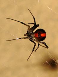 red-back-spider