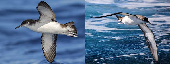 No longer birds of a feather - (L) not a Bealaric Shearwater, (R) not a Manx Shearwater