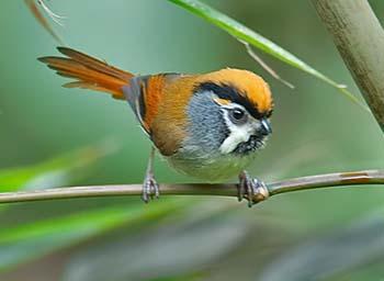 Parrotbill