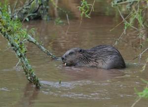 River_Otter_beaver_-_Dave_Land