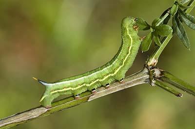 Macroglossum.stellatarum.caterpillar.3088.Liosi