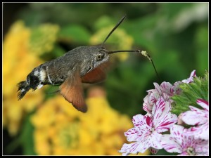 hummingbird_hawk_moth_2_by_cycoze