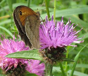 Meadow_Brown_Knapweed