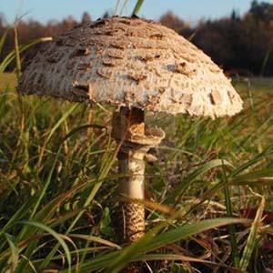 parasol-mushroom