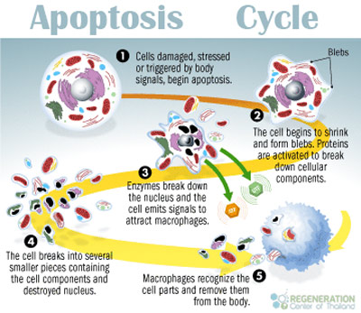 apoptosis-cycle