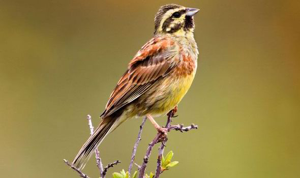 This week's uncommon sighting - a cirl bunting (not my photo). The morphological taxonomy of buntings (surprise, surprise) is at odds with the genetic: in this case possibly due to another gradualist misunderstanding mentioned by Denton - the equidistance phenomenon studied by Shi Huang (http://www.thethirdwayofevolution.com/people/view/shi-huang)