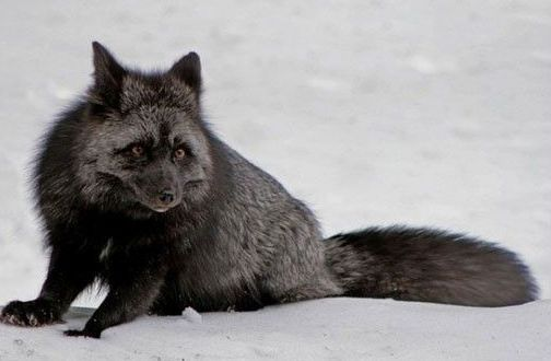 Confused arctic fox