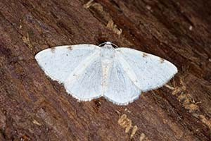 white-pinion-spotted