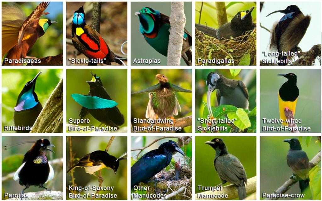 cornell_birds_of_paradise